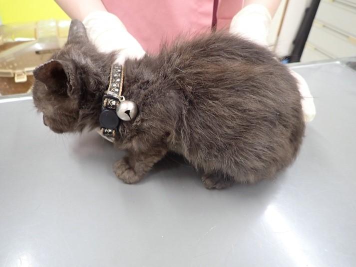 猫の皮膚糸状菌症